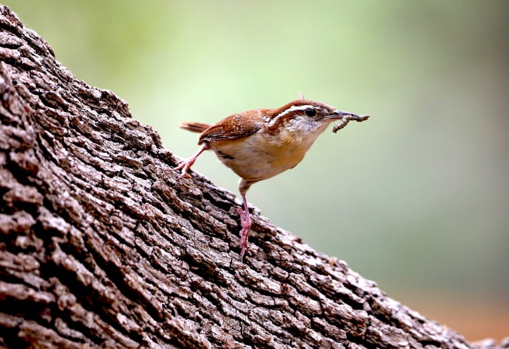 insects take up the majority of wrens' diet