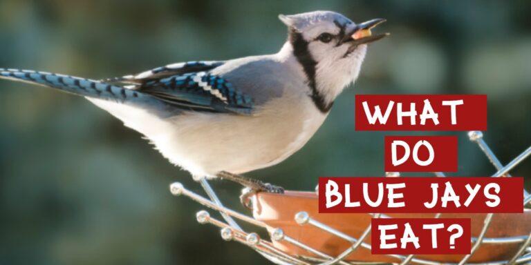 what do blue jays eat