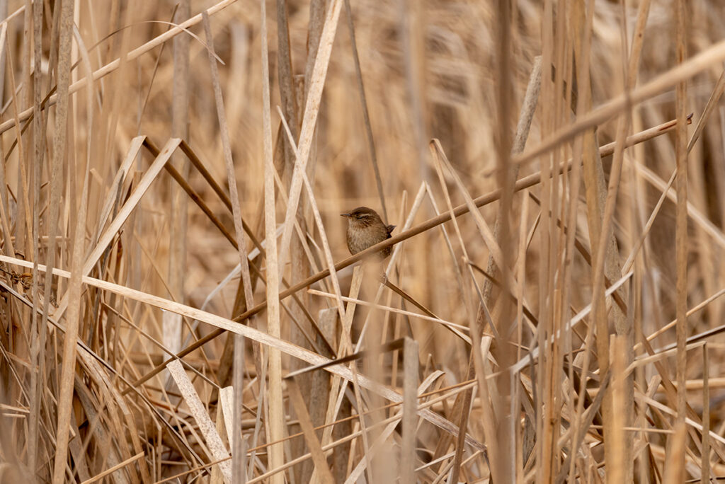 with the ability to blend in with their environment, wrens are hard to spot