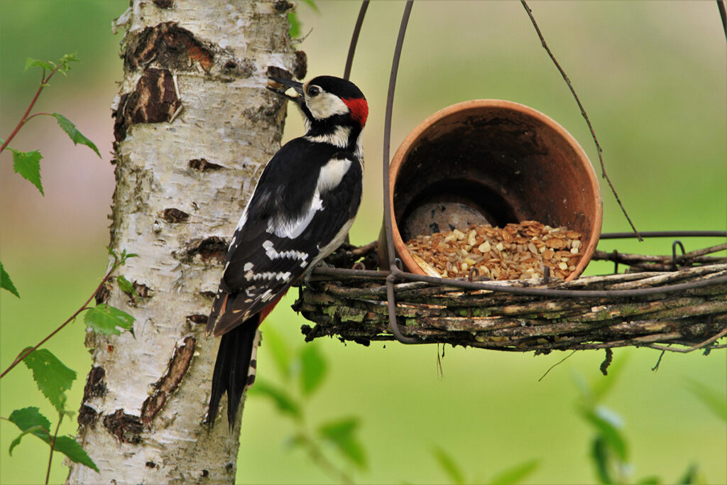Apart from mealworms, you can attract woodpeckers with  nuts, sunflower seeds or orange halves.