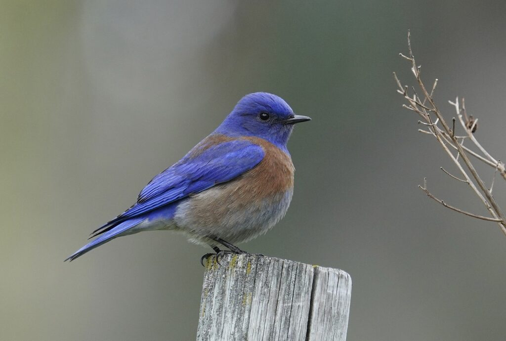 Bluebirds are easy to spot thanks to their distinctive plumage, plump body and rounded dark eyes.