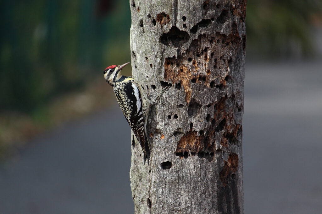 Contrary to popular belief, woodpeckers do not kill trees. They prefer to peck on soft wood of trees that are already dead or dying.