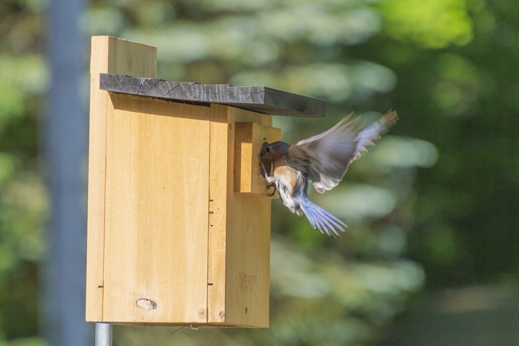 Installing bird boxes is a great way to boost bluebird numbers in your area