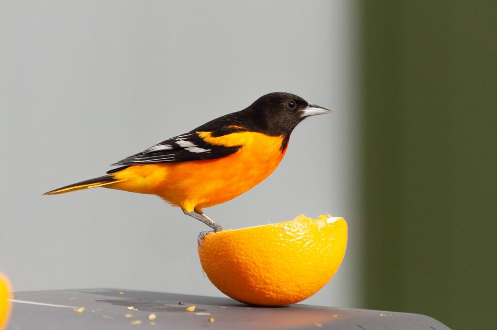 Orange slices are a great way to attract orioles to your garden