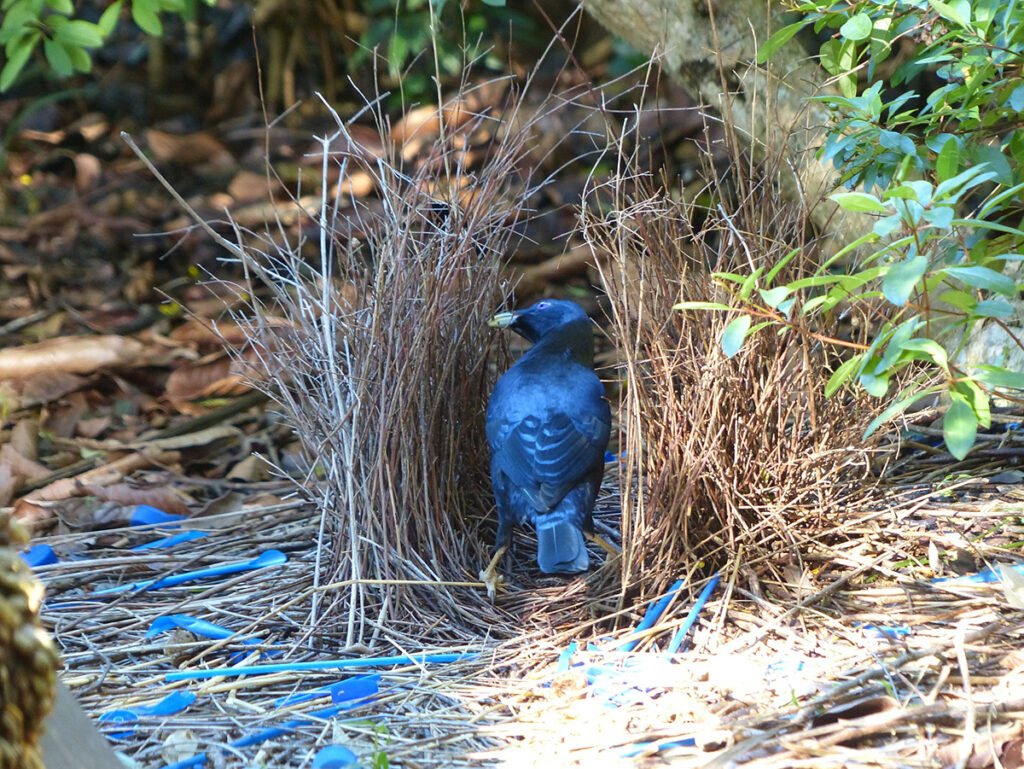 Bowerbirds build unusual nest structures called a bower to impress their lady