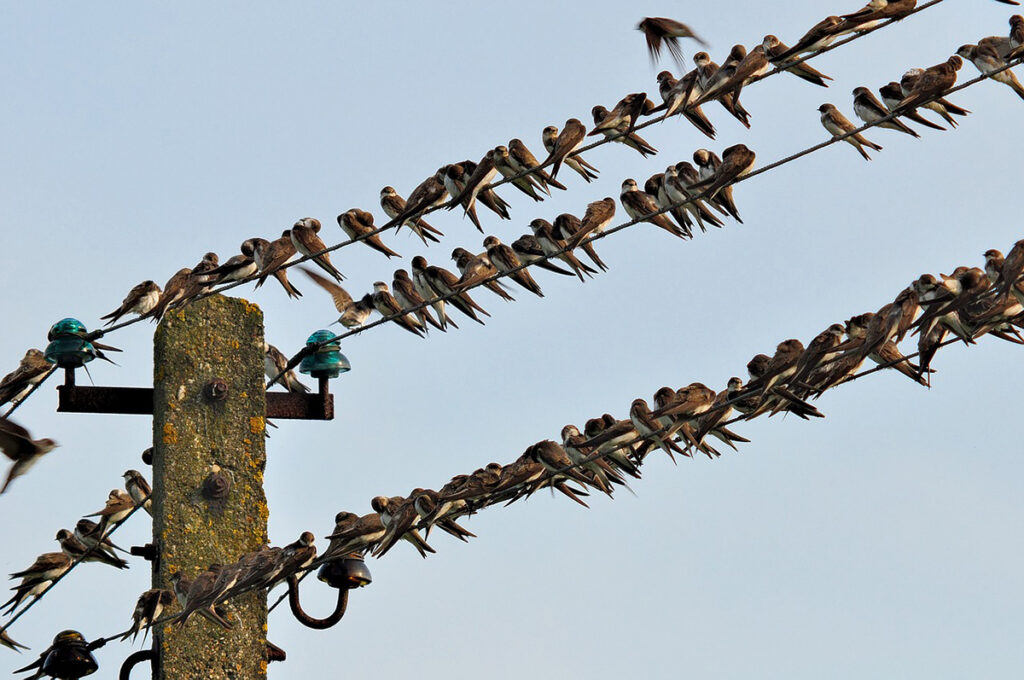 You can see a large number of swallows perched on telephone wires during the migration season