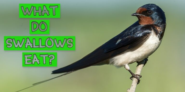 What do swallows eat