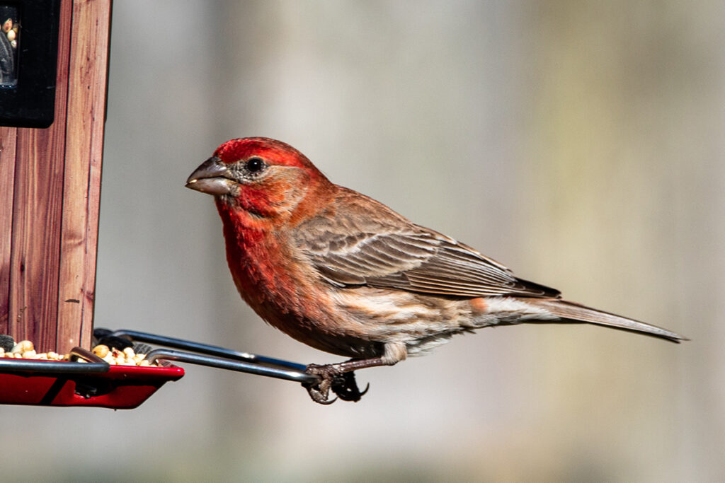 What finches eat mainly consist of seeds and berries