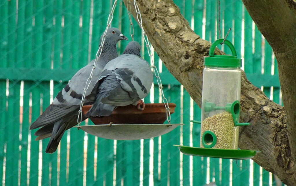 Use feeding platforms to attract pigeons to your garden.