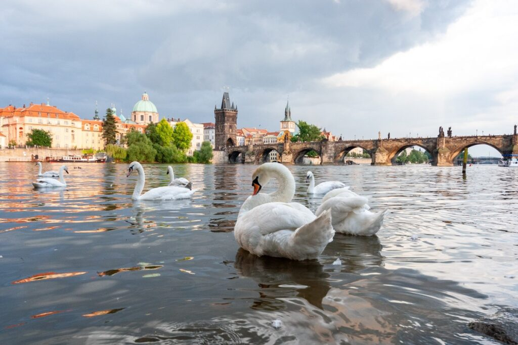 Swans are a common feature in Prague's old town, Czech Republic.